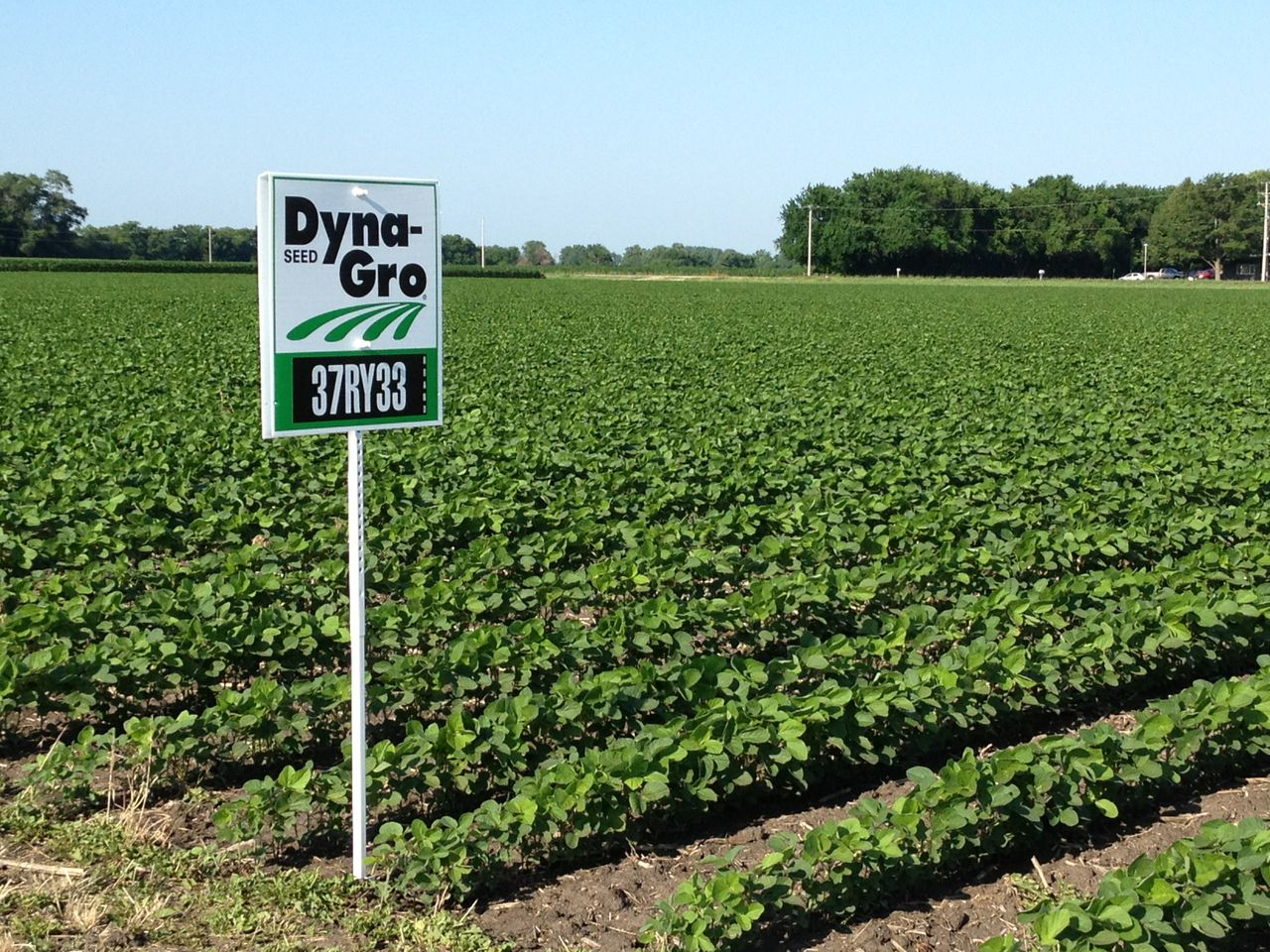 DG soybean field (2)