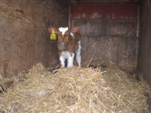 lisa blog - calf