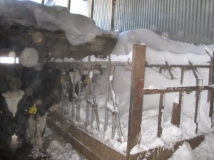 lisa's blog - freestall barn